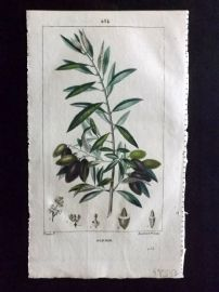 Turpin C1815 Antique Botanical Print. Olivier. Olive Tree 254